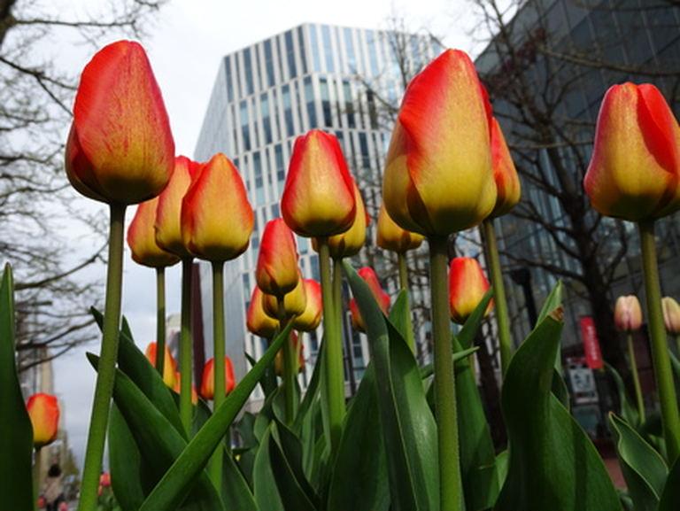 『春一番、ゆうべつチューリップ便り!』|北海道の「今」をお届け Domingo -ドミンゴ-