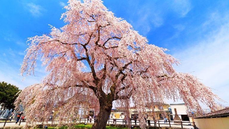 北斗桜回廊|北海道の「今」をお届け Domingo -ドミンゴ-