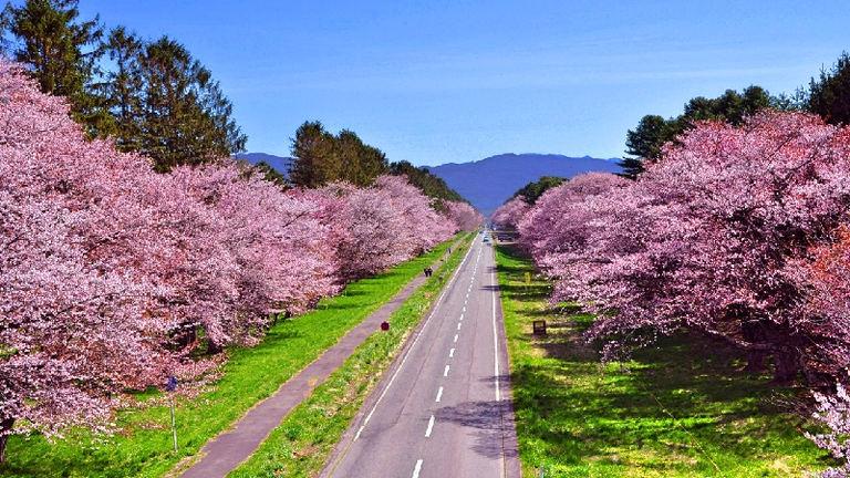 しずない桜まつり|北海道の「今」をお届け Domingo -ドミンゴ-