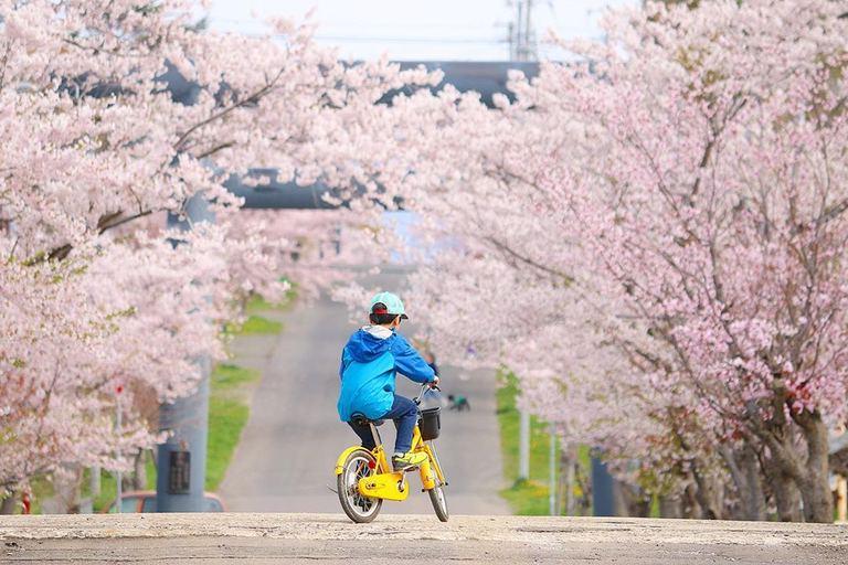 岩内神社の桜並木 など【北海道ミライノート(31)】