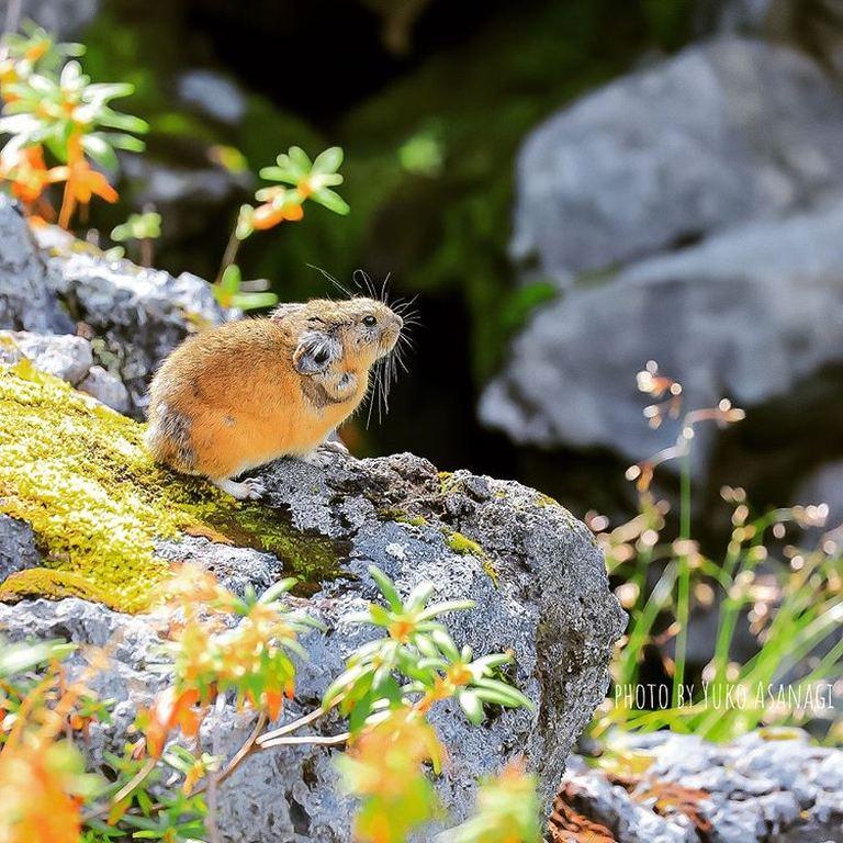 大雪山の自然と生きる愛くるしい姿。「美瑛町のナキウサギ」など 【北海道ミライノート (42)】|Domingo