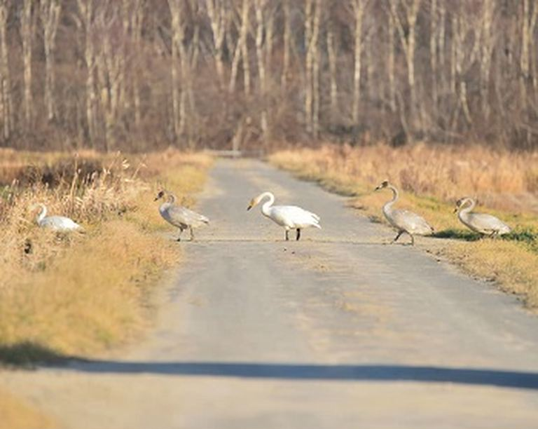 冬の時期だから出会える、愛らしい動物たち。「長沼町のオオハクチョウの行進」など 【北海道ミライノート (46)】