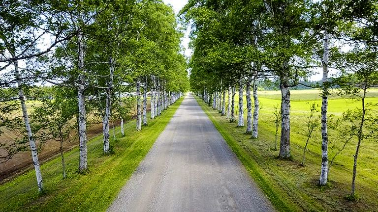 絵本の世界に迷い込んだような美しさ!白い幹が整然と立ち並ぶ「十勝牧場白樺並木」|Domingo