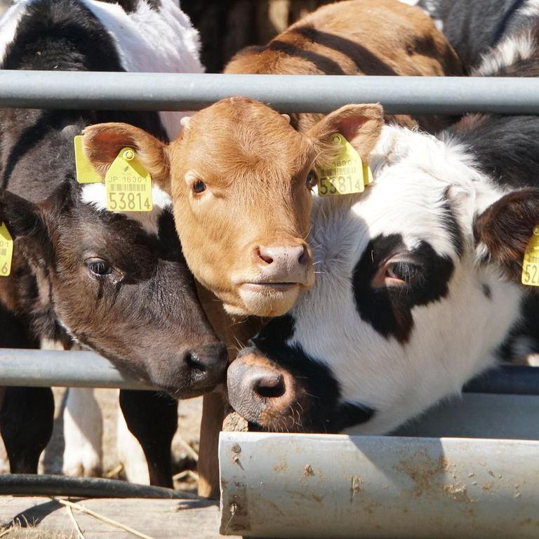 仲良く集合するめんこい牛たち。「3頭の牛(長沼町)」など 【北海道ミライノート (56)】|Domingo