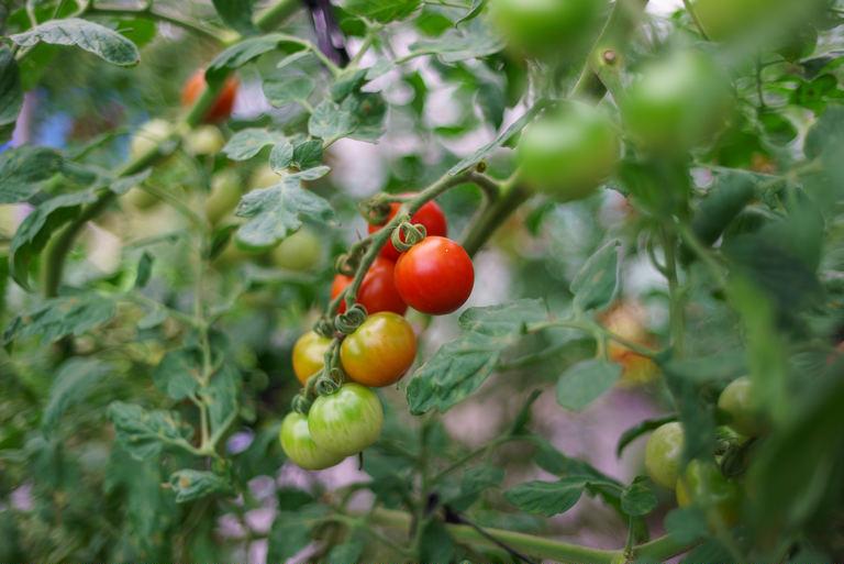 甘さと酸味の絶妙なバランス!安平町生まれのこだわりの「トマトジュース」【安平町 #2】|Domingo