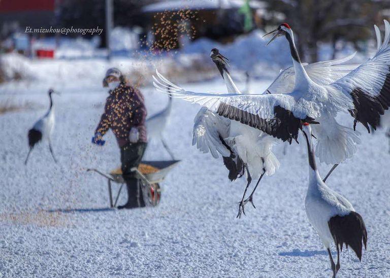 雪面に舞い降りるタンチョウ。「鶴(鶴居村)」など 【北海道ミライノート (54)】|Domingo