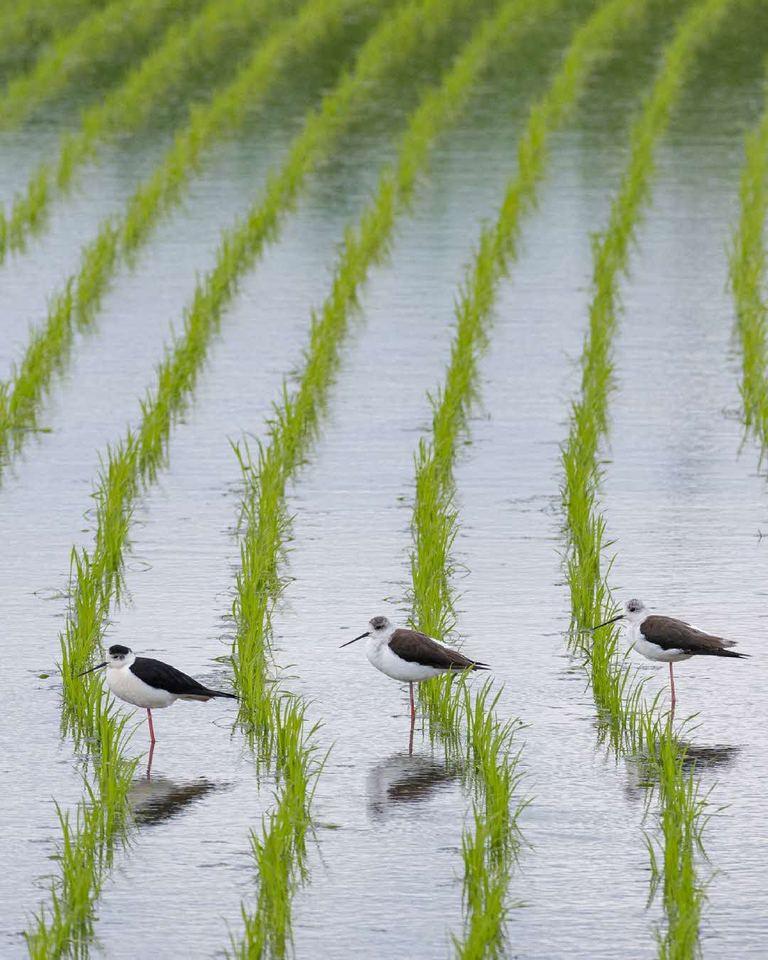 北海道に季節の訪れを告げる風景。「3羽のセイタカシギ(苫前町)」など 【北海道ミライノート (59)】 Domingo